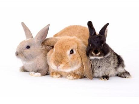 Three rabbits for Kapolei Program