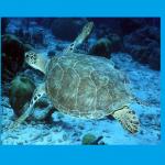 honu (turtle) swimming