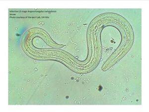 rat lungworm virus