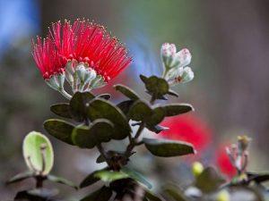 Ohi'a blossom