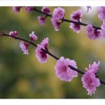 cherry blossoms branch