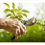 person's hand pruning a branch