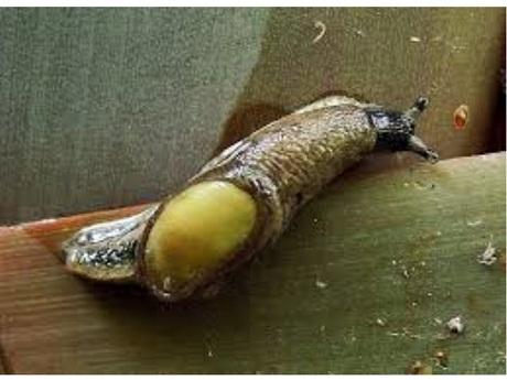 Slug - Rat Lungworm Disease