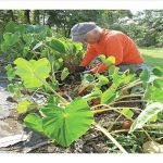 man working in native hawaiian garden