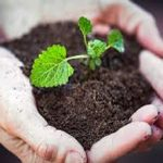 Soil and small plant in hands