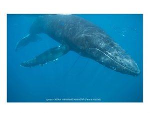 Humpback whale entangled in a net
