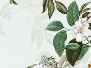 Botanical drawing of a white bloom with green leaves
