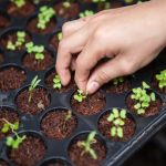 Hand caring for young plants in seed tray