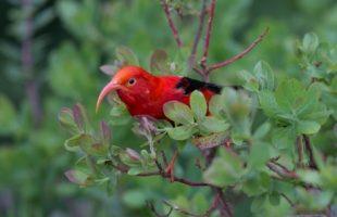 Iiwi Native Hawaiian Bird